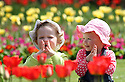 02/05/13..Ahead of more sunshine forecast for the Bank Holiday weekend, two-year-old Cousins, Sophia Thorpe (left)and Mia Dike play in the sun among tulips at Markeaton Park, Derby...All Rights Reserved - F Stop Press  - T: +44 (0)1335 300098..Local copyright law applies to all print & online usage. Fees charged will comply with standard space rates and usage for that country, region or state...