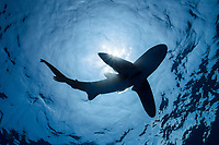 silhouette of oceanic whitetip shark, Carcharhinus longimanus, with a small sharksucker or remora, and commensal pilot fish, Naucrates ductor, swimming in open ocean waters, Kona Coast, Big Island, Kona Coast, Big Island, Hawaii, USA, Pacific Ocean (dm)