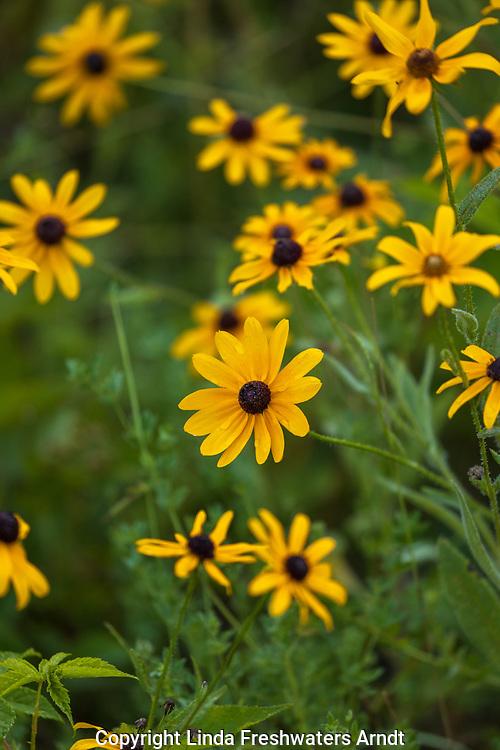Black-eyed Susans growing in northern Wisconsin.