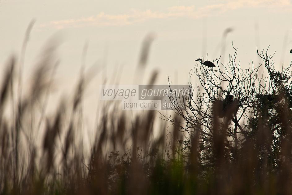 France/13/Bouches du Rhone/Camargue/Parc Naturel Régionnal de Camargue/Arles/Route de FIélouse: Etang de Vaccarès - Hérons cendrés au nid
