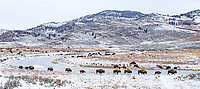 A herd of bison walks along the edge of Slough Creek.