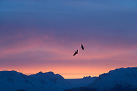 Bald eagles soar at sunrise over the kenai mountain range, Kenai Peninsula, Alaska