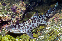 juvenile leopard shark, Triakis semifasciata (cr), California, East Pacific Ocean