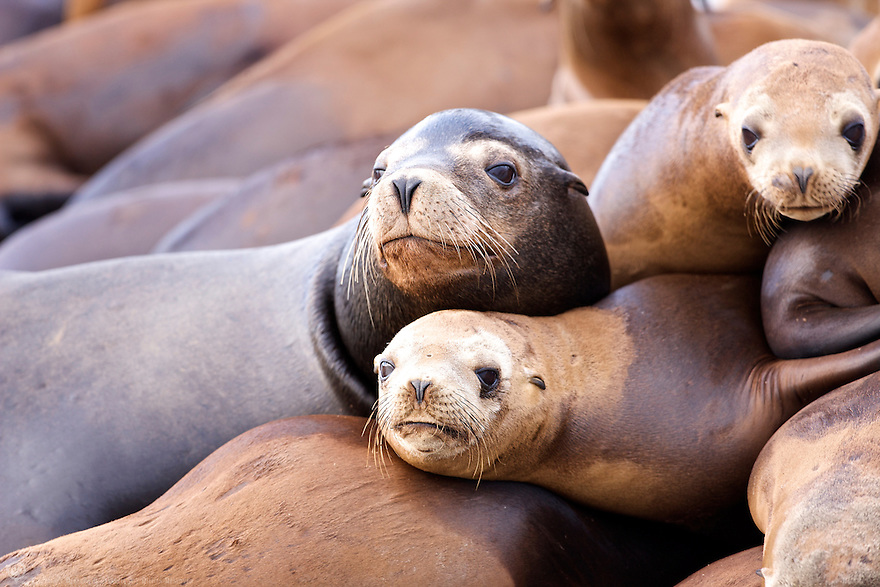 Pile of Sea Lions