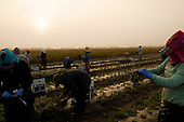 Punta Gorda, Florida<br /> December 29, 2014<br /> <br /> Sunrise on Lady Moon Farms, the largest organic farms in Florida. It is owned and run by Tom Beddard. <br /> <br /> Workers in the fields and processing facilities.