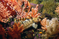 Decorated Warbonnet ( Chirolophis decoratus) hides among Pink Gorgonian Corals ( Calcigorgia spicculifera) as a Giant Pacific Octopus passes by underwater in Queen Charlotte Strait, British Columbia, Canada.
