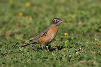 American Robin (Turdus migratorius), adult female,  Sinton, Corpus Christi, Coastal Bend, Texas, USA