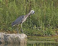 1223-06xx  Great Blue Heron - Ardea herodias © David Kuhn/Dwight Kuhn Photography