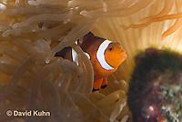 0321-1114  False Percula Clownfish (Ocellaris Clownfish), Amphiprion ocellaris, with Bulb-tipped Anemone, Entacmaea quadricolor  © David Kuhn/Dwight Kuhn Photography