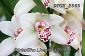 Gisela, FLOWERS, BLUMEN, FLORES, photos+++++,DTGK2565,#f#, EVERYDAY ,orchids