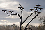 Damon, Texas; several black vultures perched on a leafless tree with wings spread, drying their feathers in the early morning sunlight