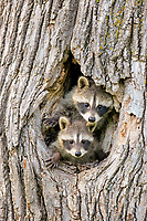 Raccoons (Procyon lotor), kits peeping out of den, portrait, Minnesota, USA, North America