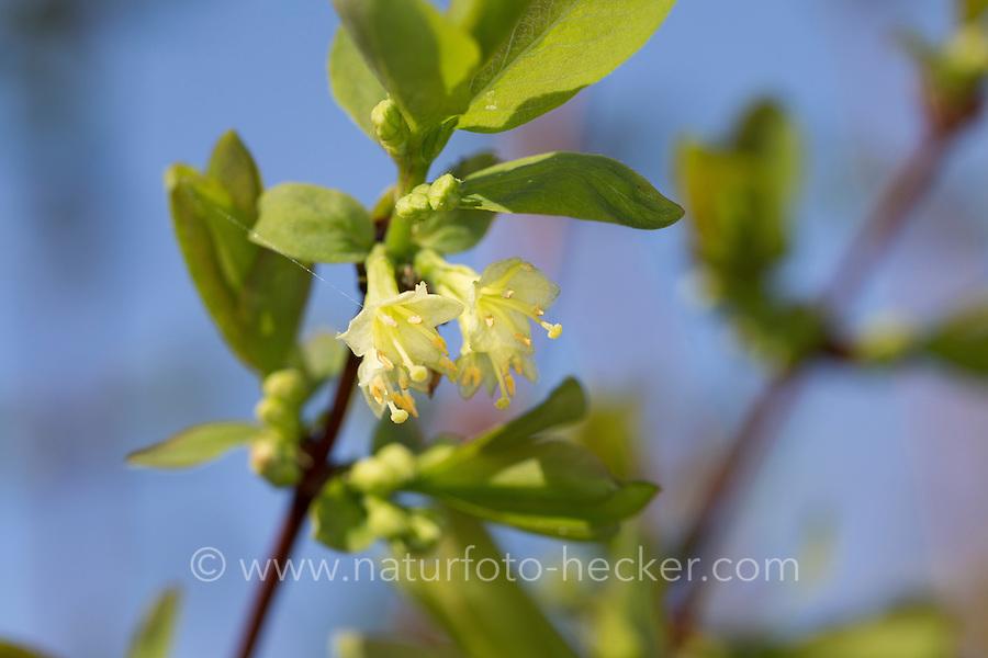 Blaue Heckenkirsche, Blaue Doppelbeere, Lonicera caerulea, Blue-berried Honeysuckle, Sweetberry Honeysuckle