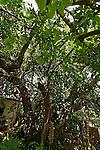 T-097 Mulberry tree in Ein Karem