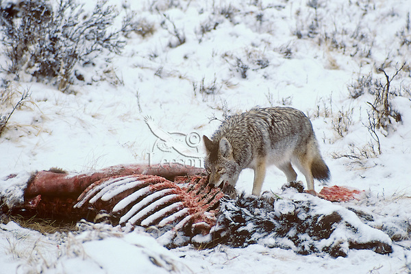 Coyote (Canis latrans) feeding on elk carcass.  Elk has been killed by wolves; coyote is only scavenging.