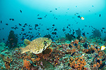 Banda Neira Island, Banda Sea, Indonesia;  a large, yellow-green, map puffer fish swimming over the coral reef amongst an aggregation of redtooth triggerfish and pyramid butterflyfish