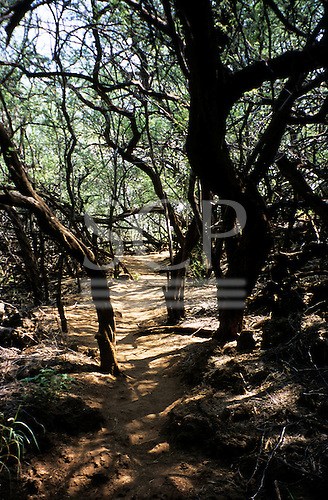 Big Island, Hawaii. Dusty path through forest to petroglyph site in Puako Petroglyph Park.