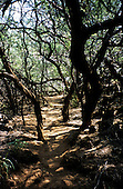 Big Island, Hawaii. Dusty path through forest to petroglyph site in Puako Petroglyph Park.