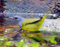 Adult male mourning warbler bathing in fall migration