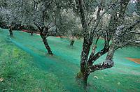 Europe/France/Corse/2A/Corse-du-Sud/Sainte Lucie de Tallano: les oliveraies avec les filets pour le ramassage des olives de Mr Don Jean Santa Lucia Président des oléiculteurs de l'Alta Rocca