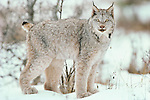 The Canada lynx is often confused with the more aggressive bobcat, Montana, USA