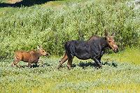 Mother and calf moose wade through meadow grass near Christian Creek, Grand Teton National Park, Wyoming, USA, Alces alces, Wyoming, USA
