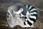 ring-tailed lemur with newborn twins, female is cleaning off newborns, one babies head is sticking out on the left, second on the bottom right, young lemurs were born 20 minutes bfore photo was taken