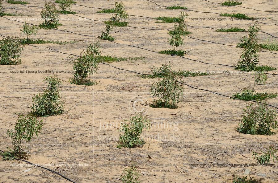 EGYPT, Ismallia , Sarapium forest in the desert, the trees are irrigated by treated sewage water from Ismailia, eucalyptus trees with drip irrigation / AEGYPTEN, Ismailia, Sarapium Forstprojekt in der Wueste, die Baeume werden mit geklaertem Abwasser der Stadt Ismailia bewaessert, junge Eukalyptus Baeume mit Troepfchenbewaesserung