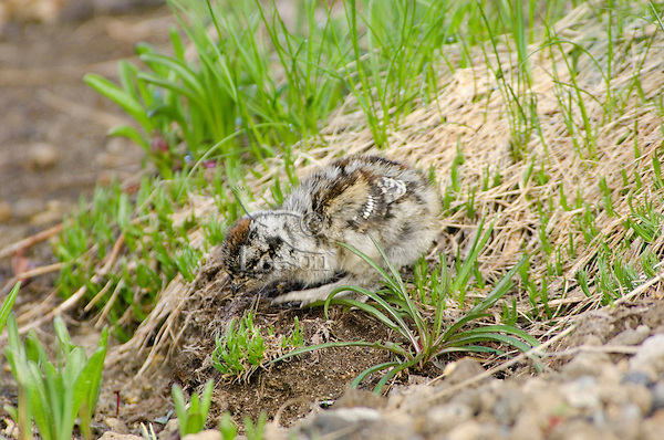 White-tailed Ptarmigan (Lagopus leucurus) chick looking for food.  Mount Rainier National Park, WA.  Summer.
