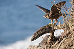 La Jolla, California; a juvenile Peregrine Falcon (Falco peregrinus) spreads its wings in preparation for flight while one of its two siblings is perched below on a cliff with the Pacific Ocean in the background