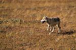 Gray Wolf walking across tundra in Denali National Park.