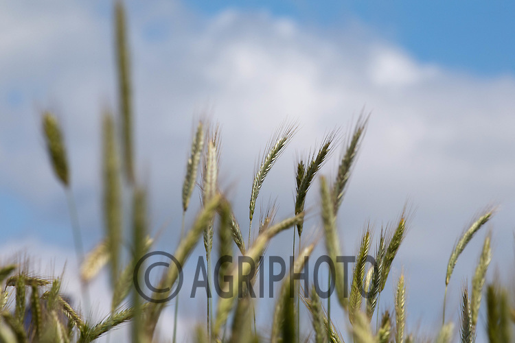 1-7-2021 Rye<br /> ©Tim Scrivener Photographer 07850 303986<br />      ....Covering Agriculture In The UK....
