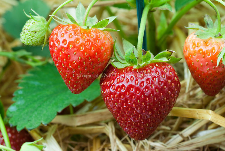 Strawberries 'EM 1119' closeup of ripe & unripe berries growing on plant amid straw mulch with stages of ripeness from green to red