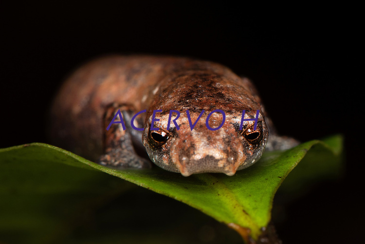 Espécie: Bolitoglossa paraensis (Unterstein, 1930)<br /> Nome-inglês: Para's Lungless Salamander<br /> Nome-português: Salamandra do Pará<br /> .<br /> Salamandras são anfíbios geralmente com corpo alongado, quatro patas bem desenvolvidas e cauda longa. Apesar de parecidos com lagartos, as salamandras são mais relacionados aos sapos, rãs e pererecas. A maior diversidade de salamandras ocorre no hemisfério norte e somente um grupo de salamandras ocorre na região neotropical. As salamandras são extremamente raras no Brasil, com somente cinco espécies conhecidas--todas encontradas exclusivamente na Amazônia.<br /> .<br /> A Salamandra do Pará foi descoberta  na região de Santa Isabel do Pará, Pará, Brasil. A espécie está restrita ao estado do Pará. É um animal florestal e noturno, sendo mais comumente encontrado em dias chuvosos, especialmente na época mais chuvosa da região. Devido ao fato de ser uma espécie relativamente rara, e depender de florestas bem preservadas para sua sobrevivencia, a Salamandra-do-Pará está ameaçada de extinção.<br /> .<br /> A espécie foi incluida na  lista das espécies da fauna e flora silvestre ameaçadas de extinção no Estado do Pará (Estado do Pará 2008) - categoria vulnerável. Em 2014 passou a integrar também a lista oficial das espécies da fauna brasileira ameaçadas de extinção (Portarias MMA nº 444/2014 e nº 445/2014)<br /> .<br /> Foto feita durante expedição do Projeto Documenting Threatened Species (DoTS). O DoTS é um projeto que busca documentar e divulgar para o mundo as espécies ameaçadas de extinção no Brasil.<br /> .<br /> Veja mais sobre o Projeto DoTS e sobre as espécies ameaçadas de extinção no Brasil em www.projetodots.org ou na conta de Instagram do projeto (https://www.instagram.com/projeto_dots).