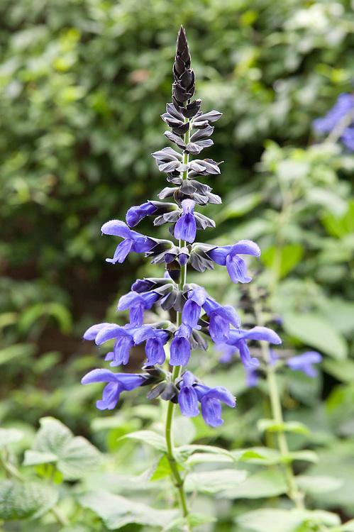 Salvia guaranitica 'Black and Blue', mid October.