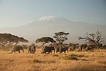 A matriarchal herd of African elephants feed at sunrise below Mount Kilimanjaro in Amboseli National Park in Kenya.