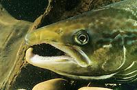 Atlantischer Lachs,  Männchen mit Laichhaken, Salm, Salmo salar, Atlantic salmon