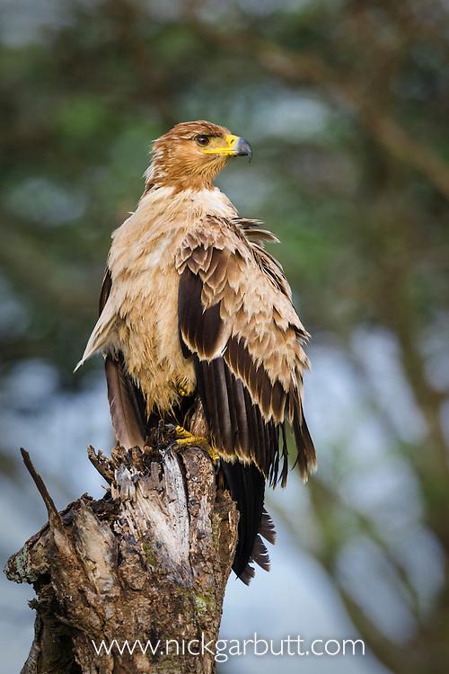 Tawny Eagle (Aquila rapax) - pale phase - perched on tree stump. Big Marsh, Ndutu, Ngorongoro Conservation Area / Serengeti National Park, Tanzania.