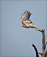 Florida Red-Shouldered Hawk launching self into flight from a dead tree