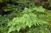 Gewöhnlicher Adlerfarn, Pteridium aquilinum, Bracken