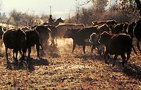 Cowboy herding cattle in Montana. Cowboy. Montana.