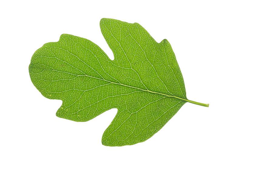 Schneebeere, Gewöhnliche Schneebeere, Knallerbsenstrauch, Symphoricarpos albus, Snowberry, Waxberry, La symphorine. Blatt, Blätter, leaf, leaves