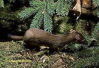 MA21-040z   Long-Tailed Weasel - summer brown coat - Mustela frenata