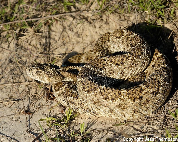 Coiled Rattlesnake, Dos Venadas Ranch, South Texas