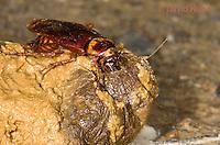 0113-0907  American Cockroach Feeding on Animal Feces, Periplaneta americana  © David Kuhn/Dwight Kuhn Photography.
