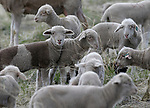 Approximately 2,000 sheep have arrived on the westside of Carson City as part of the annual fuels-reduction program, on Monday, April 15, 2019. The program pairs Borda Land and Sheep Company with Carson City Parks, Recreation and Open Space, covering about 2,000 acres over 6-weeks.   <br />