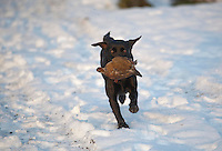 Shooting in snow, Lancashire. Labrador with partridge.