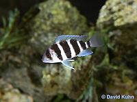 0116-0910  Five-Bar Lamprologus Cichlid (Five-bar Cichlid) Lake Tanganyika Cichlid, Neolamprologus tretocephalus  © David Kuhn.