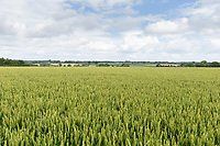 7-7-2021 Crop of Winter wheat<br /> ©Tim Scrivener Photographer 07850 303986<br />      ....Covering Agriculture In The UK....