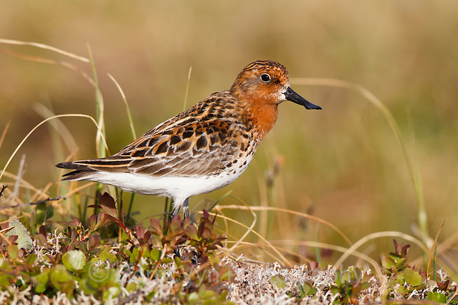 Adult male Spoon-billed Sandpiper between bouts of rhythmically repeated calls. Chukotka, Russia. June.